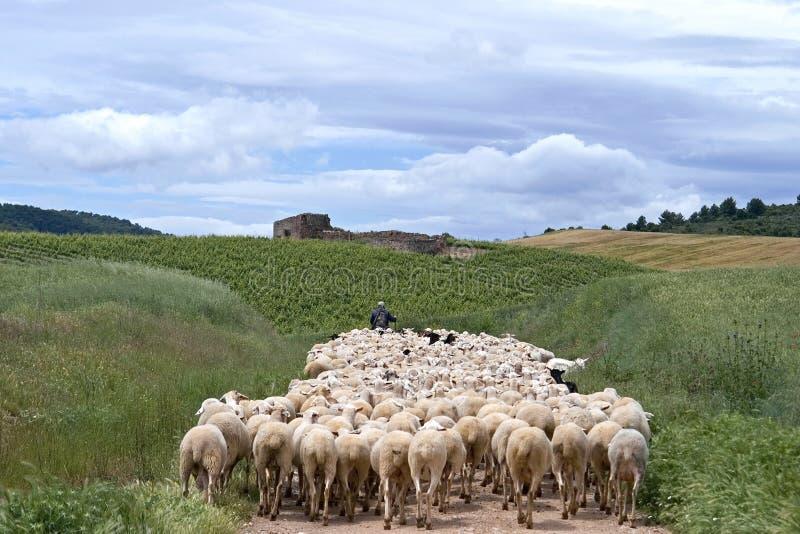 Shepherd con la multitud de ovejas en paisaje natural fotos de archivo libres de regalías