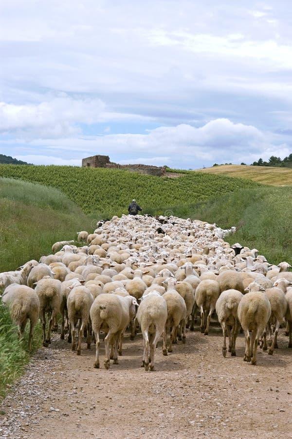Shepherd con la multitud de ovejas en paisaje natural foto de archivo