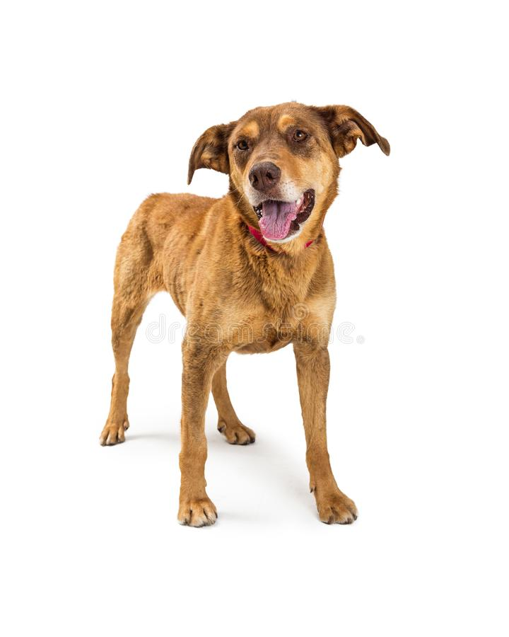 Friendly Shepherd Dog Standing on White. Shepherd crossbreed dog with happy expression standing on white background stock photography