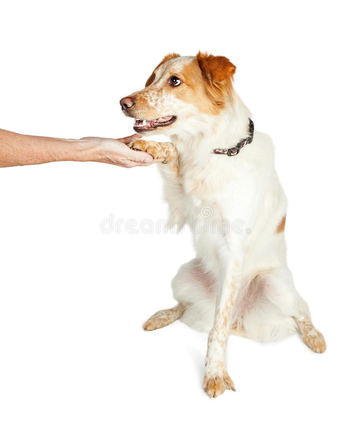 Shepherd Crossbreed Dog Shaking Hands With Person. Obedient and friendly mixed breed dog sitting and shaking hands with a person stock photography