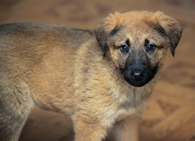 Shepherd crossbreed puppy stock photography