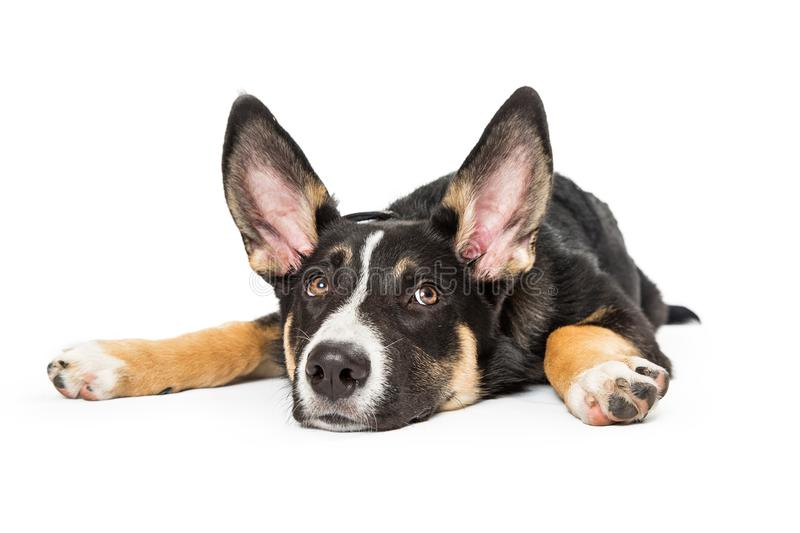 Shepherd Crossbreed Puppy Lying Down Flat. Cute young Shepherd crossbreed puppy dog lying down flat on ground with arms spread out royalty free stock image