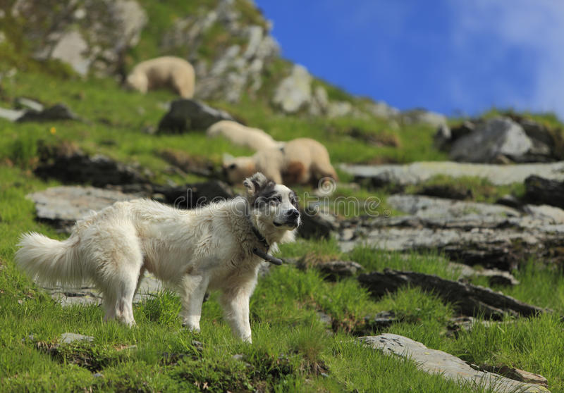 Download Shepherd Dog Royalty Free Stock Images - Image: 10164849