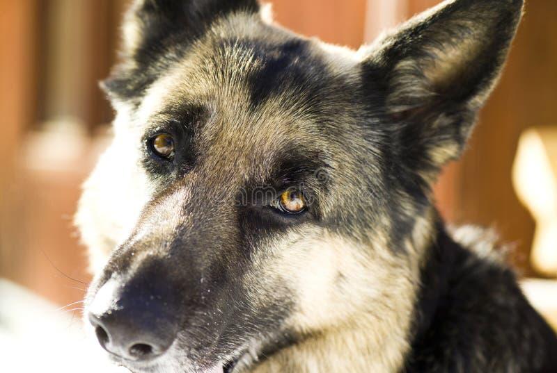 Download Shepherd dog stock image. Image of serious, adorable - 30303639