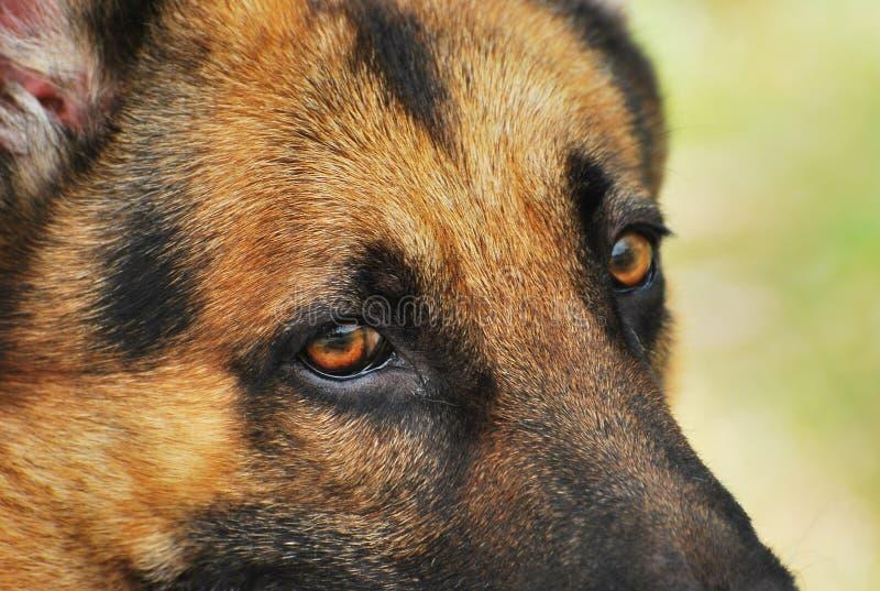 Shepherd Dog. A close up photo taken on the eyes of a German Shepherd dog stock images