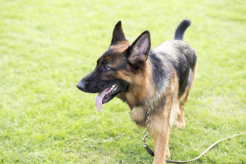 Shepherd Dog. German Shepherd dogs German Shepherd Dog, also known as: Germany canine, GSD, is a Dog of a breed, originated from Germany, the source of origin is royalty free stock photo