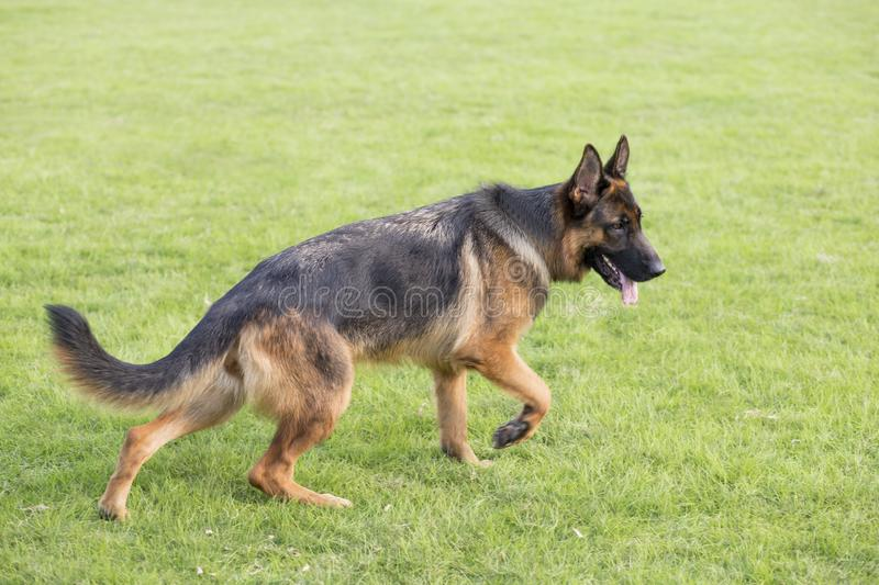 Shepherd Dog. German Shepherd dogs German Shepherd Dog, also known as: Germany canine, GSD, is a Dog of a breed, originated from Germany, the source of origin is royalty free stock photos