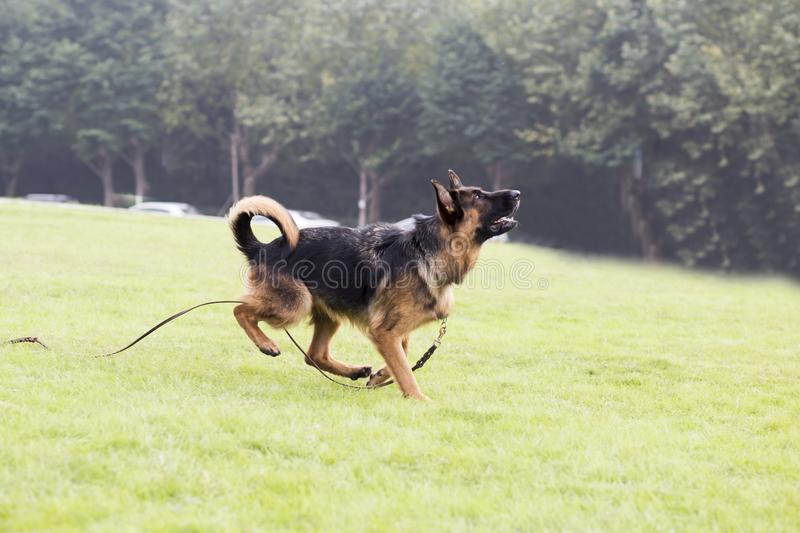 Shepherd Dog. German Shepherd dogs German Shepherd Dog, also known as: Germany canine, GSD, is a Dog of a breed, originated from Germany, the source of origin is royalty free stock photography