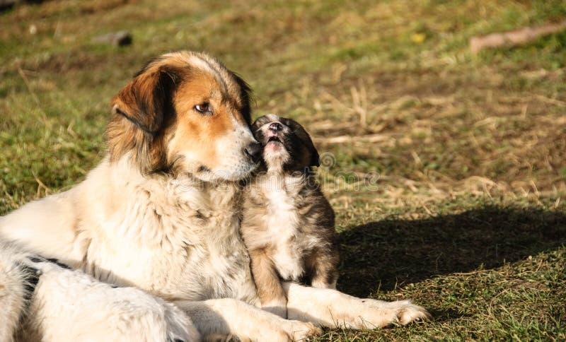 Shepherd dog and her young. stock image