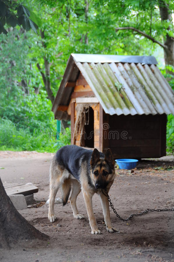 Shepherd dog near the wooden dog house royalty free stock photography
