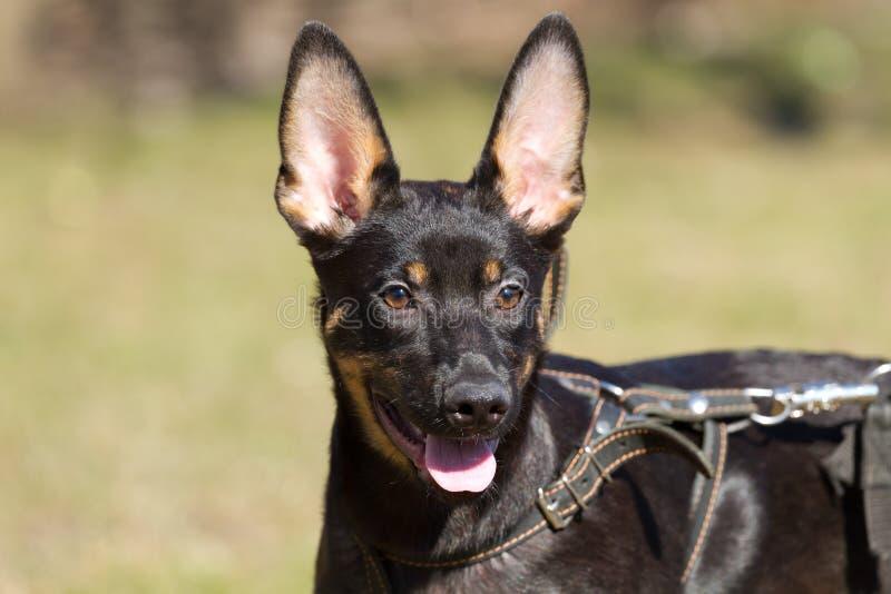 Shepherd Dog Stock Photo