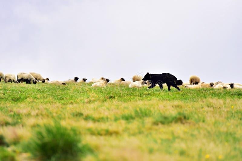 Shepherd dog protecting sheep herd. Grazing high on alpine pasture royalty free stock photography