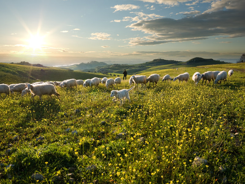 Download Shepherd With Dog And Sheep That Graze In Flowered Stock Image - Image: 8147009