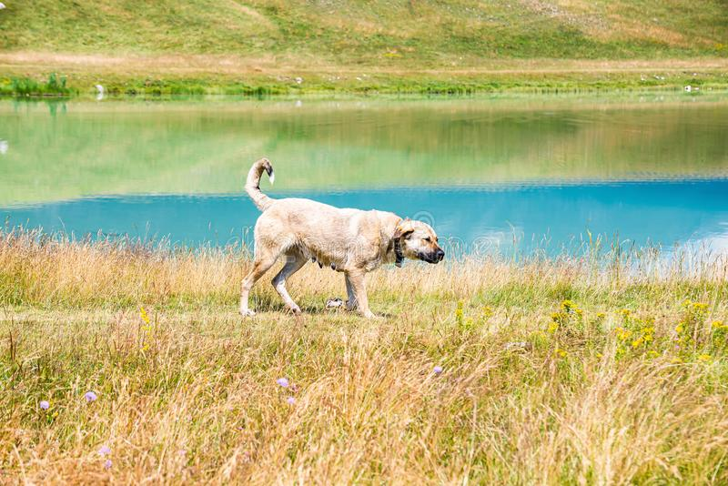 Shepherd dog walking around Vrazje lake in National Park Durmitor, Montenegro, Europe.  royalty free stock images