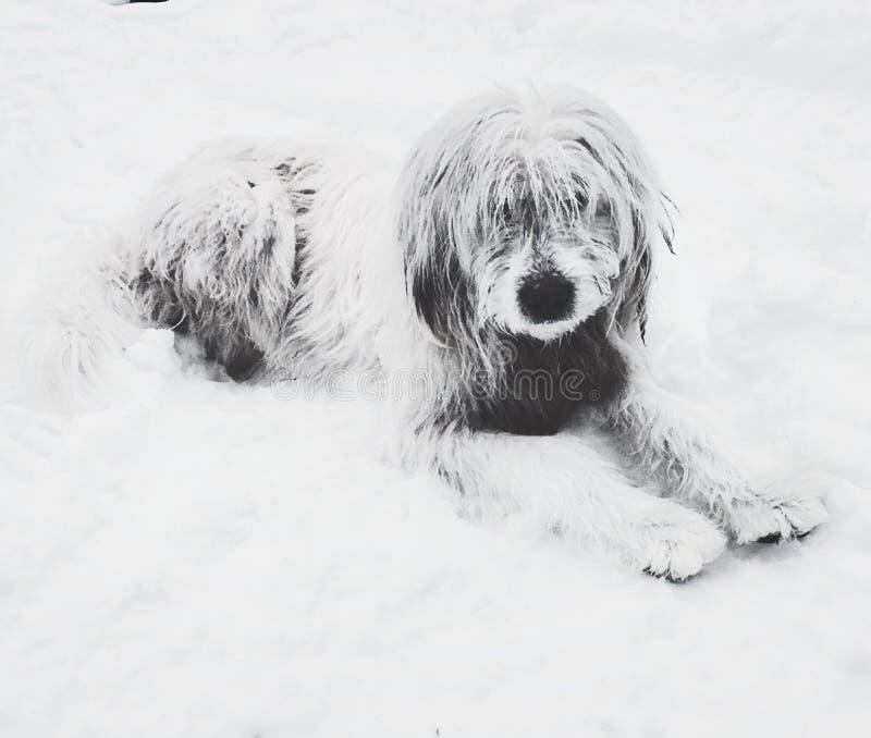 Shepherd dog. White shepherd dog in snow stock image