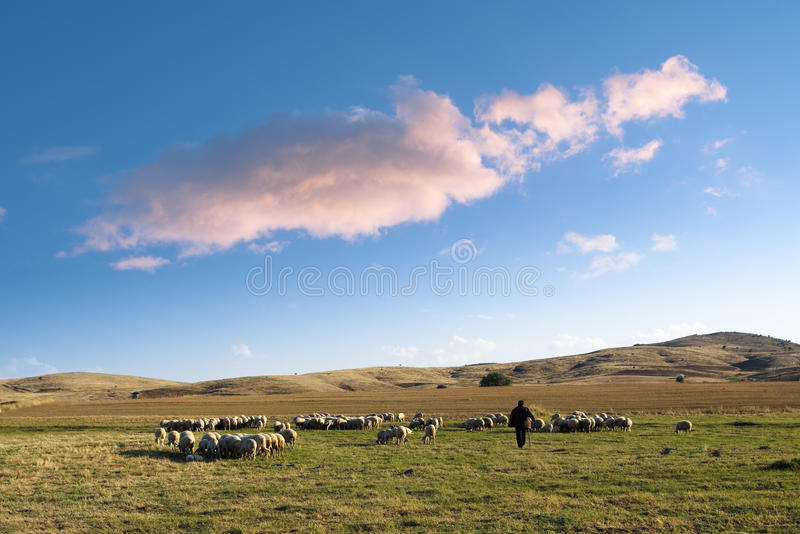 Shepherd And Flock Of Sheep. Shepherd and his flock of sheep in a prairie of the central Anatolia under a big cloud in the blue sky at the evening royalty free stock image
