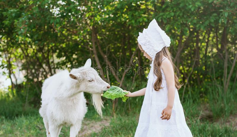 A shepherd girl in a white dress and bonnet feeds a goat with cabbage leaves. Child feeding goat in spring field. Baby adorable agriculture animal background royalty free stock photos