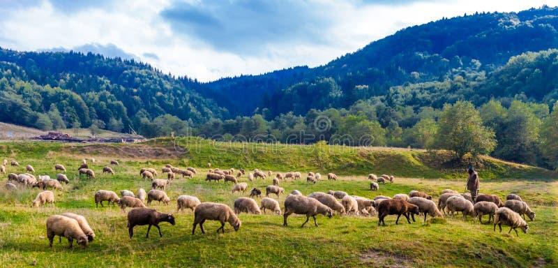 Shepherd guardar su manada en las montañas de Cárpatos del transporte fotos de archivo libres de regalías