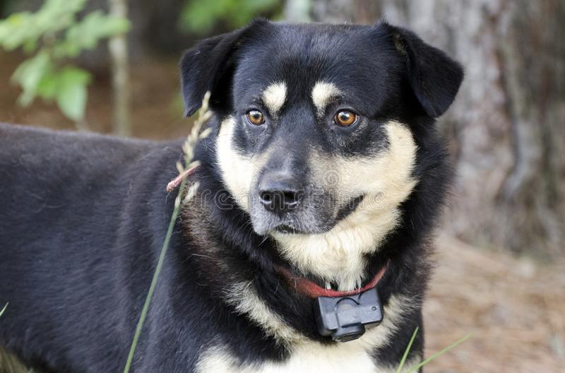 Shepherd le chien de race mélangé par Aussie Kelpie dehors sur la laisse rouge avec le collier de choc photo libre de droits