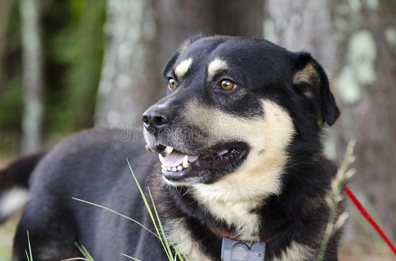 Shepherd le chien de race mélangé par Aussie Kelpie dehors sur la laisse rouge avec le collier de choc photos libres de droits