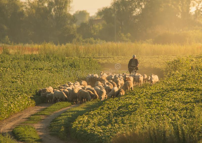 Shepherd leads a herd of sheeps royalty free stock images