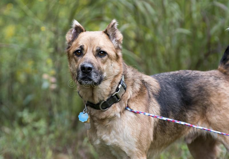 Shepherd mix dog with collar and rabies ID tags. Older not neutered male Shepherd Chow dog with cropped ears outdoors on leash. Dog rescue adoption photography royalty free stock photos