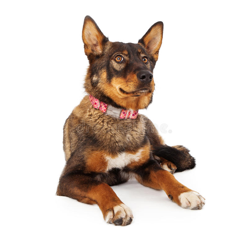 Shepherd Mixed Breed Dog Laying Down. A large female mixed Shepherd breed dog wearing a pink laying down on a white background stock photo