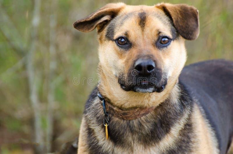 Shepherd mixed breed dog. Outdoor pet photography, humane society adoption photo, Walton County Animal Shelter, Georgia stock images