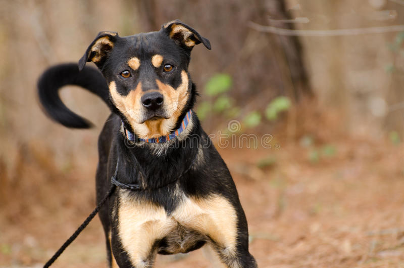 Shepherd mixed breed dog. Wagging tail, outdoor pet photography, humane society adoption photo, Walton County Animal Shelter, Georgia stock photo