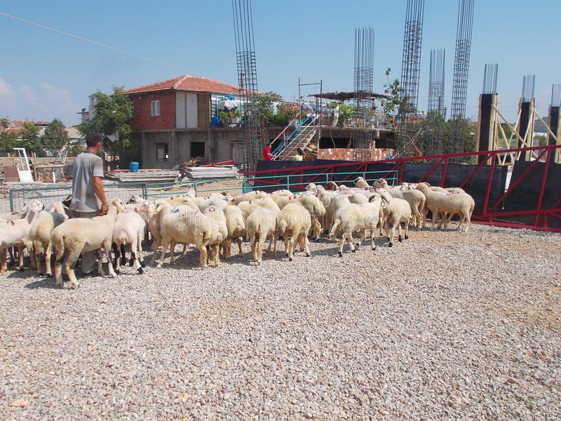 Shepherd Moving Among Sheep. On a livestock market. Working to selling sheep for Eid Al-Adha Feast of Sacrifice in Turkey stock photography