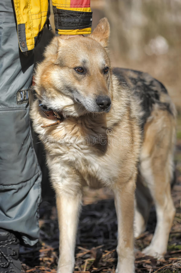 Shepherd. Portrait of crossbreed german shepherd, beautiful young female stock photos