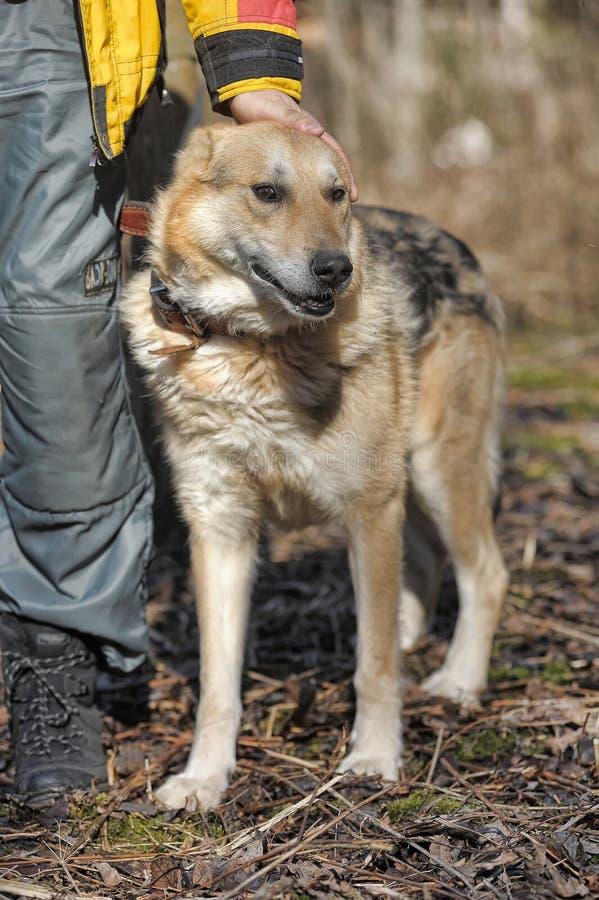 Shepherd. Portrait of crossbreed german shepherd, beautiful young female royalty free stock image
