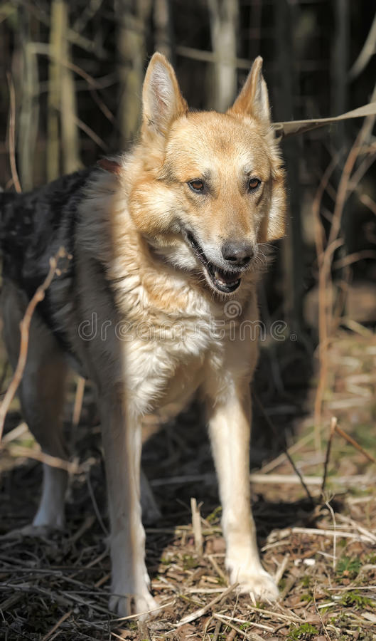 Shepherd. Portrait of crossbreed german shepherd, beautiful young female stock image