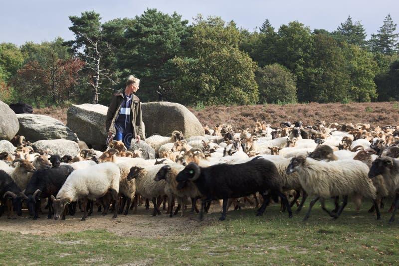 Shepherd près des dolmens du havelte, Hollande images stock