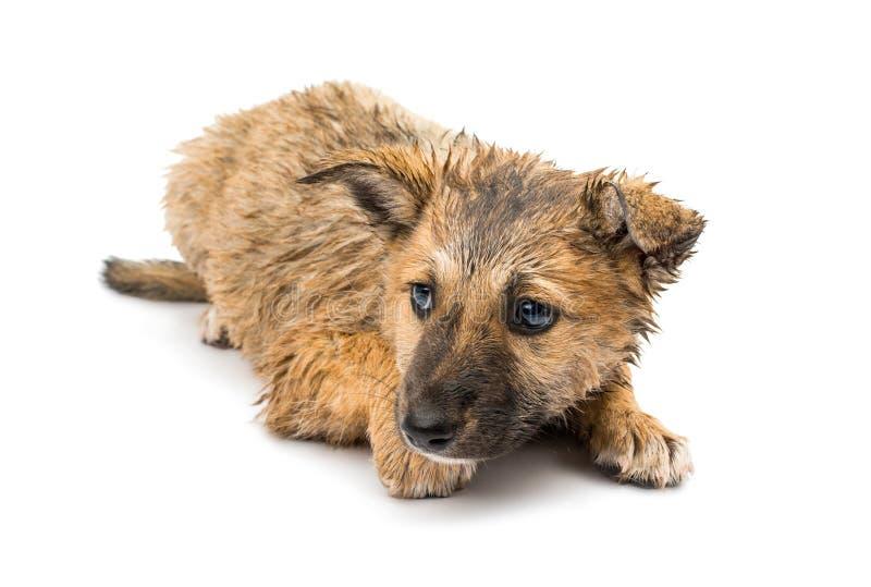 Shepherd puppy stock image