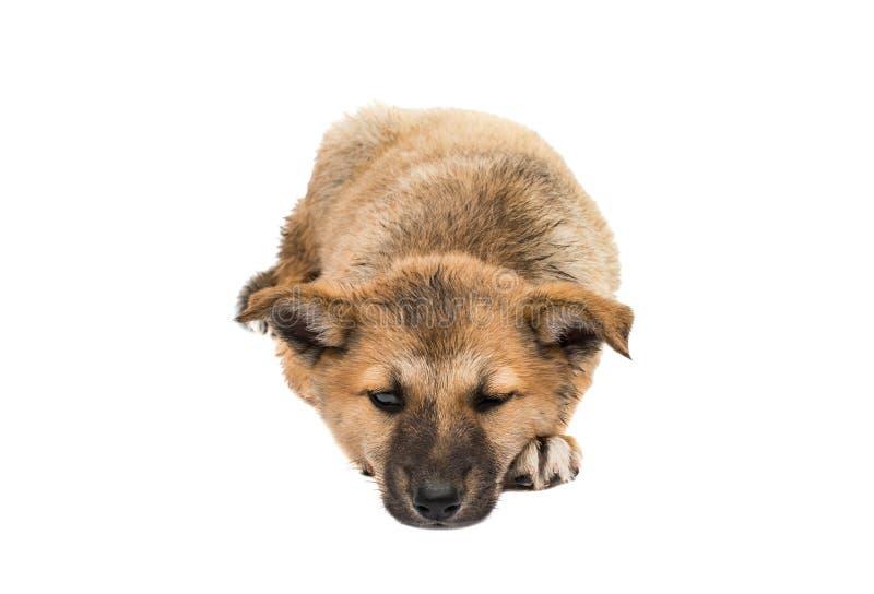 Shepherd puppy stock photo