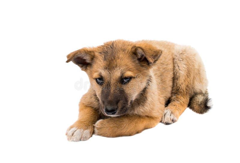 Shepherd puppy royalty free stock photos