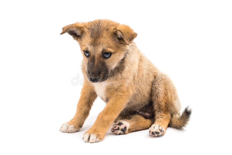 Shepherd puppy royalty free stock image