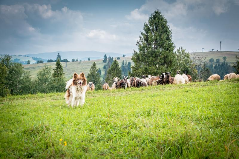 Shepherd`s dog on the pasture. In summer mountains stock photo