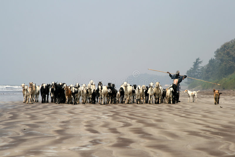 Shepherd walking with his goats on the beach. A shepherd walking on a beach with his goats and dogs royalty free stock photography