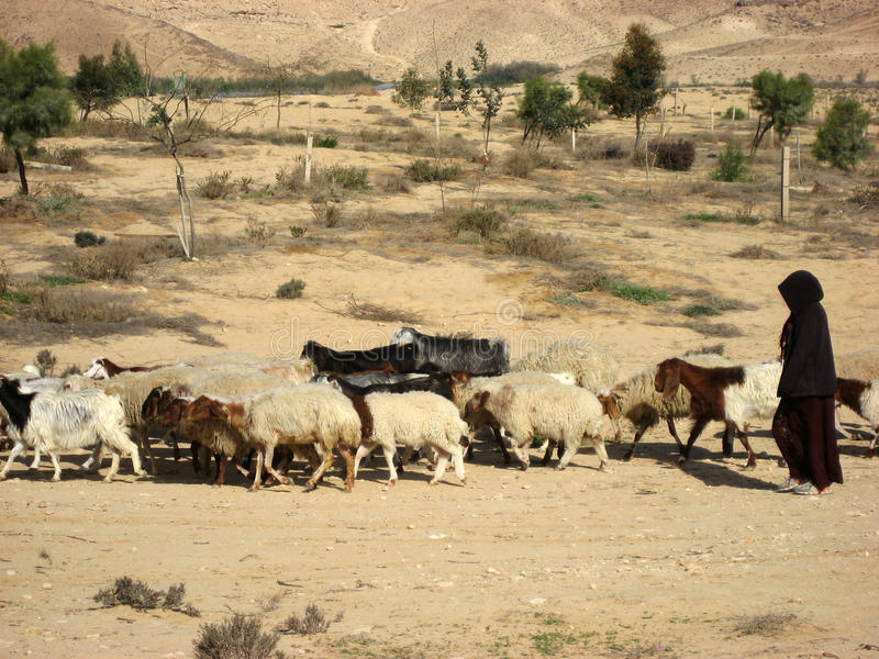 Shepherdess herding a flock of goats in the desert royalty free stock photography