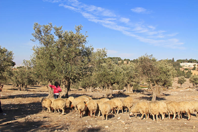 Shepherdess and Sheep in an Olive Grove. Shepherdess tending her sheep in an olive grove between Jerusalem and Bethlehem, Israel royalty free stock photography