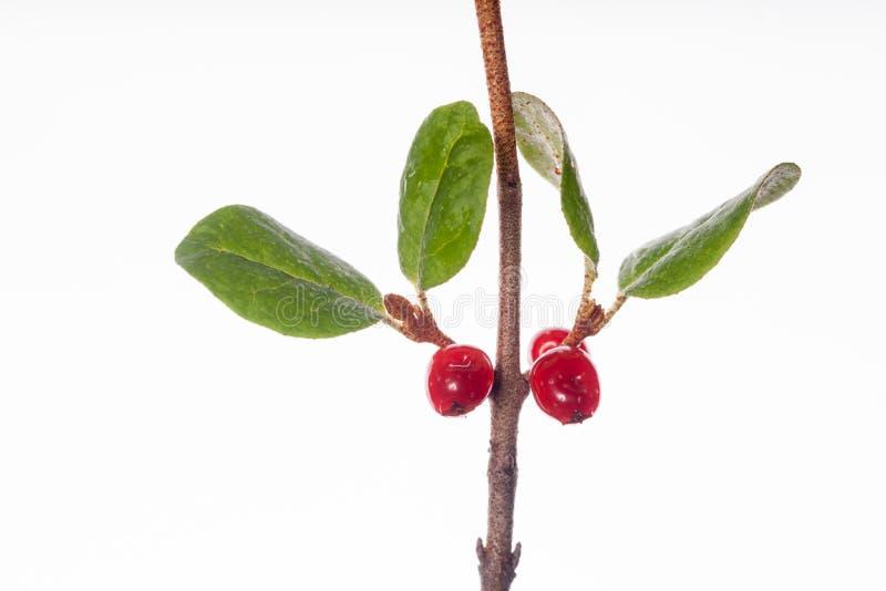 Shepherdia-canadensis stockbild