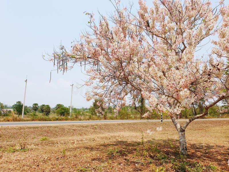 Sherry bossom Baum von Thailand stockfotografie