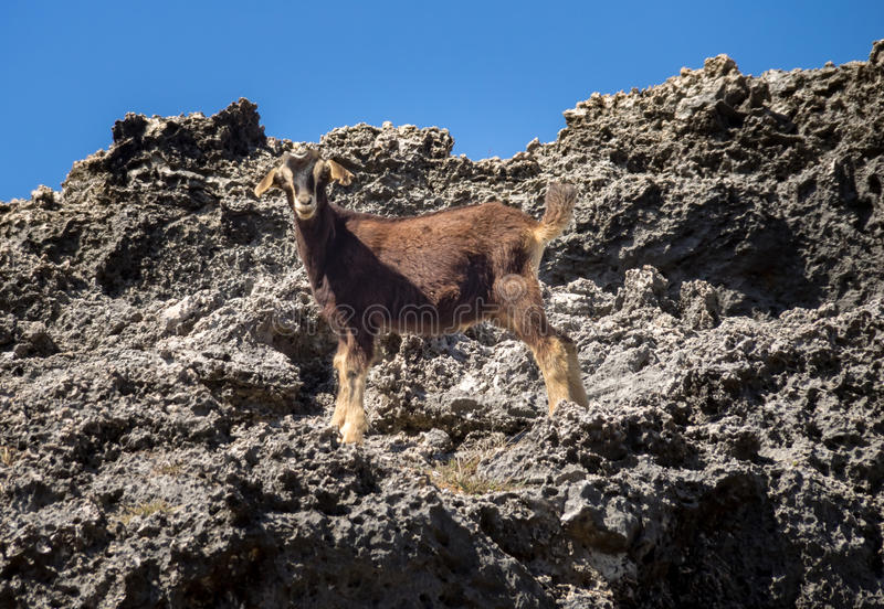 Shete Boka National park = goat. Shete Boka National park Views around Curacao a small island in the Caribbean royalty free stock photo