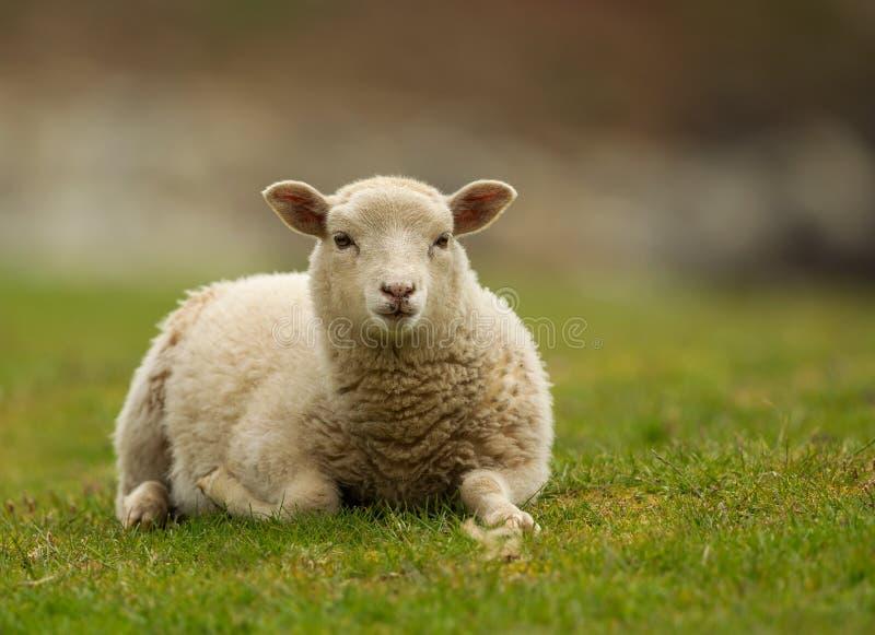 Shetland cakli baranek fotografia stock