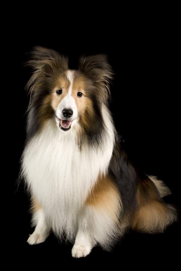 Free Shetland Collie Dog Royalty Free Stock Images - 16304829