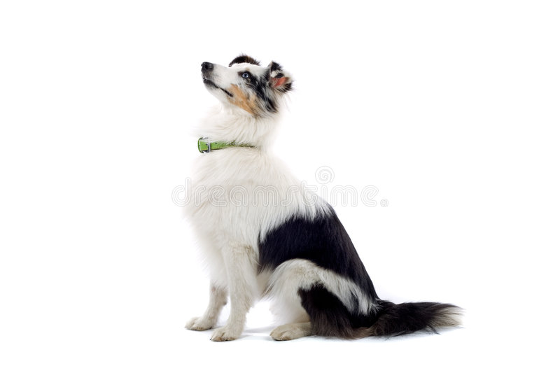 Shetland Collie or sheepdog. A profiled view of a black and white Shetland Collie or sheepdog posing on a white background royalty free stock images