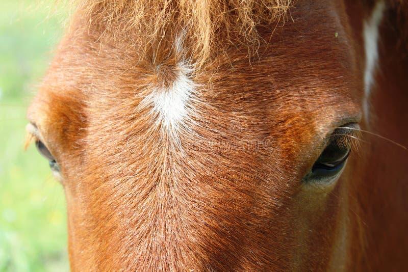 Shetland en gros plan Pony Eyes image libre de droits
