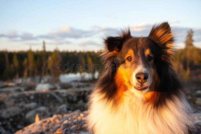 Shetland fårhund i sommar på solnedgången royaltyfri fotografi